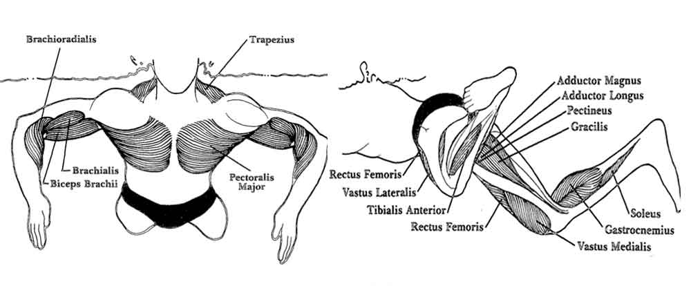 Breaststroke Muscles: Upper and Lower Body